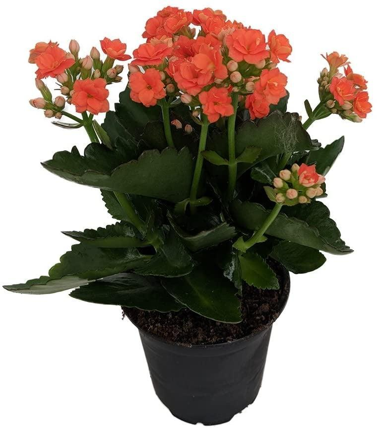 <p>Available in a variety of bright colors, the <span>Kalanchoe Plant</span> ($20) is a great housewarming present for anyone.</p>