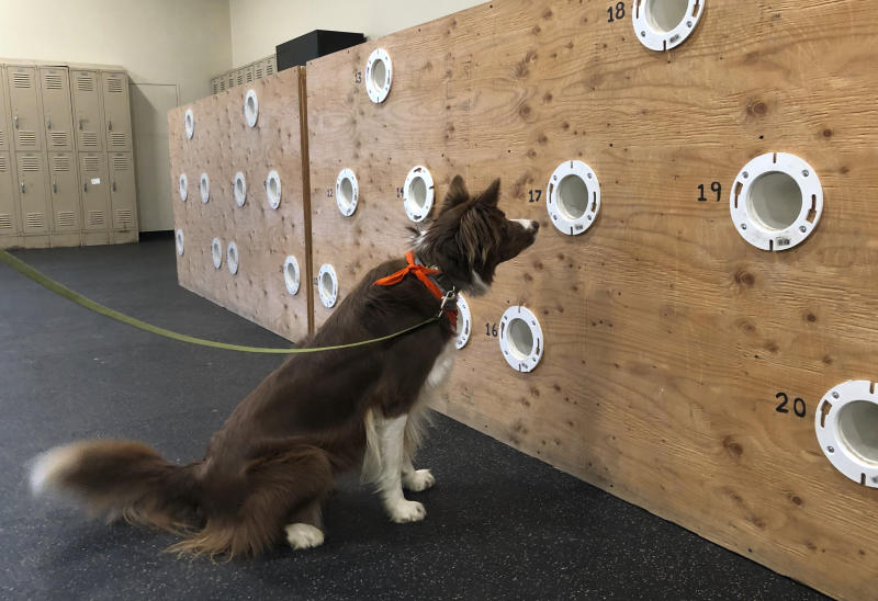 """In this May 7, 2019 photo, border collie Finn alerts to a clove oil sample in a scent wall used to train dogs for drug detection and other nose work at the State University of New York, Cobleskill, in Cobleskill, N.Y. The four-year program in """"canine training and management"""" officially launches in the fall of 2019 at the century-old agricultural college sprawled across 900 acres in central New York. (AP Photo/Mary Esch)"""