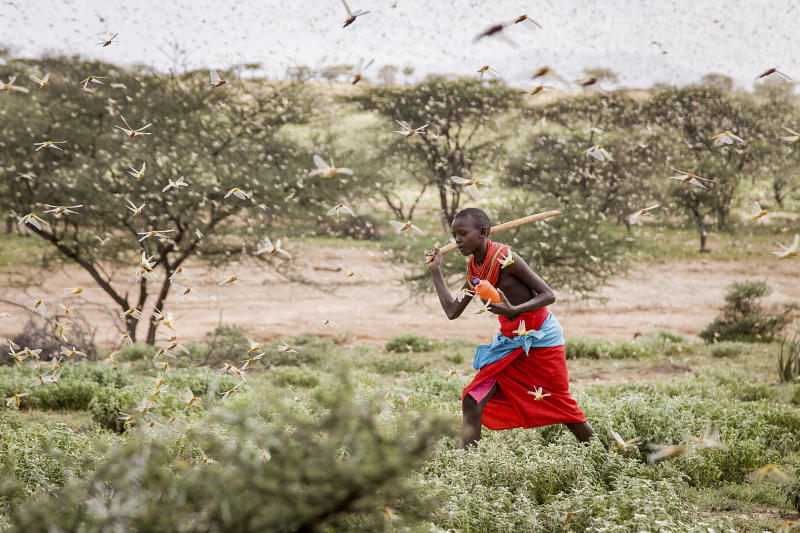 A Samburu boy uses a wooden stick to try to swat a swarm of desert locusts filling the air, as he herds his camel near the village of Sissia, in Samburu county, Kenya on Thursday, Jan. 16, 2020. The most serious outbreak of desert locusts in 25 years is spreading across East Africa and posing an unprecedented threat to food security in some of the world's most vulnerable countries, authorities say, with unusual climate conditions partly to blame. (AP Photo/Patrick Ngugi)