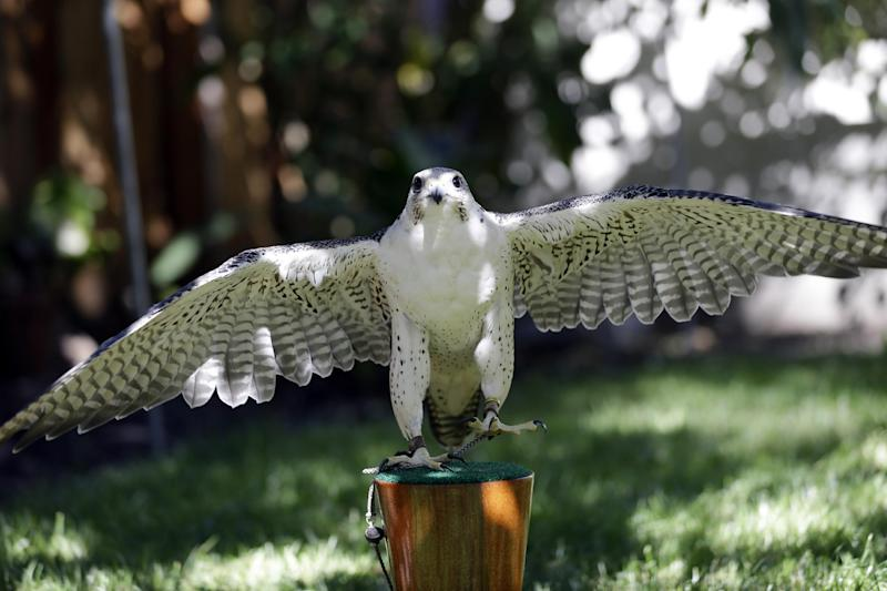 This June 19, 2013, photo shows Aura, a three-year-old female peregrine falcon, at the home of biologist Glenn Stewart in Santa Cruz, Calif. After decades of scrambling on the underside of California bridges to pluck endangered peregrine falcon fledglings teetering in ill-placed nests, inseminating female birds and releasing captive-raised chicks, wildlife biologists have been so successful in bringing back the powerful raptors that they now threaten Southern California's endangered shorebird breeding sites.As a result, the U.S. Fish and Wildlife Service says it will no longer permit high profile peregrine chick rescues from Bay Area bridges, a move which they concede will likely lead to fluffy chicks tumbling into the water below and drowning next spring. (AP Photo/Marcio Jose Sanchez)