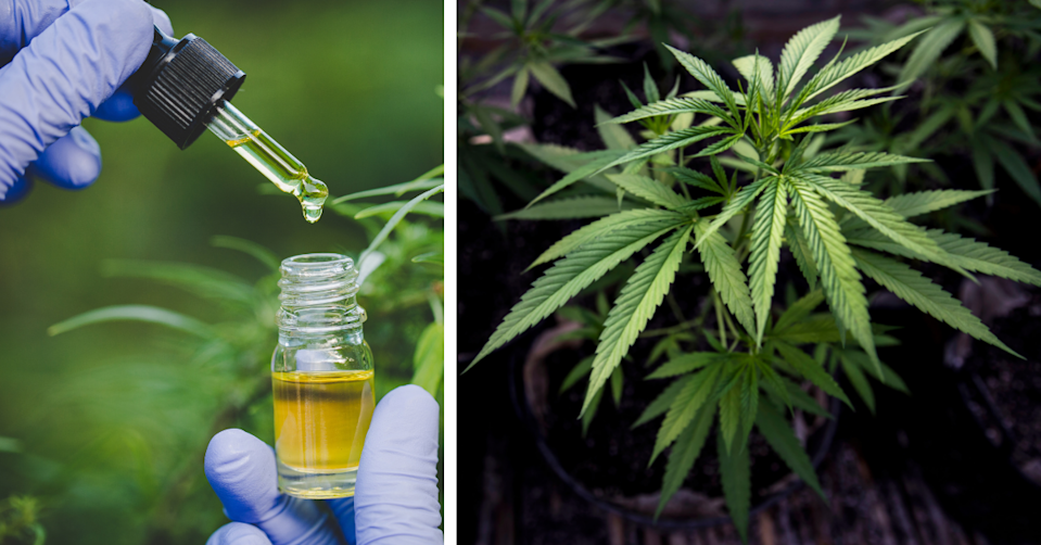 A gloved hand holding a jar with a pipet of CBD oil. A marijuana plant.