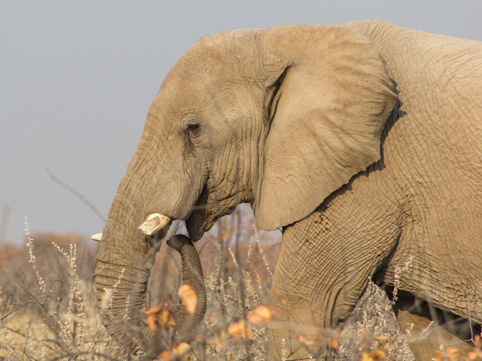 Close-up of African elephant with cut tusks to avoid poaching in Etosha National Park, Namibia: Getty Images/iStockphoto