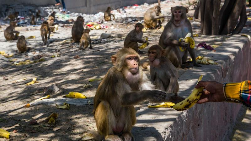 People have been asked not to feed monkeys during the pandemic, although many have come to rely on human sources of food