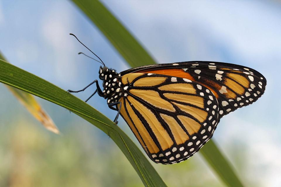 """<p>You most likely knew that your state had an official bird, but did you know that it had an official insect too? It's true! According to Smithsonian, <a href=""""https://www.si.edu/spotlight/buginfo/state-insects"""" rel=""""nofollow noopener"""" target=""""_blank"""" data-ylk=""""slk:California was the first state"""" class=""""link rapid-noclick-resp"""">California was the first state</a> to adopt a state <a href=""""https://www.countryliving.com/gardening/garden-ideas/a39334/insect-gardens-trend/"""" rel=""""nofollow noopener"""" target=""""_blank"""" data-ylk=""""slk:insect"""" class=""""link rapid-noclick-resp"""">insect</a> back in 1929. So unless you live in Iowa or Michigan, the two states who haven't outwardly declared their love for bugs, your home state has one creepy crawly that is tops. </p><p>A lot of <a href=""""https://www.countryliving.com/life/g30459472/signs-you-grew-up-american-1578601158/"""" rel=""""nofollow noopener"""" target=""""_blank"""" data-ylk=""""slk:states"""" class=""""link rapid-noclick-resp"""">states</a> chose the same common insect as their mascot, monarch <a href=""""https://www.countryliving.com/gardening/g32133680/flowers-that-attract-butterflies/"""" rel=""""nofollow noopener"""" target=""""_blank"""" data-ylk=""""slk:butterflies"""" class=""""link rapid-noclick-resp"""">butterflies</a> and honey bees in particular seem to be super popular. But some states are completely original in their choices and even have insects that are named after their region. And if you are squeamish, don't worry, most are totally harmless (and not nightmare-inducing like murder hornets or <a href=""""https://www.countryliving.com/life/a33557396/zombie-cicadas-facts/"""" rel=""""nofollow noopener"""" target=""""_blank"""" data-ylk=""""slk:zombie cicadas"""" class=""""link rapid-noclick-resp"""">zombie cicadas</a>), most are even helpful to the environment, and some are just straight up beautiful butterflies. And there area few states that have really gone all in on the bug front. One even declared two official insects, an official butterfly, and an official agricultural insect. One even has a s"""