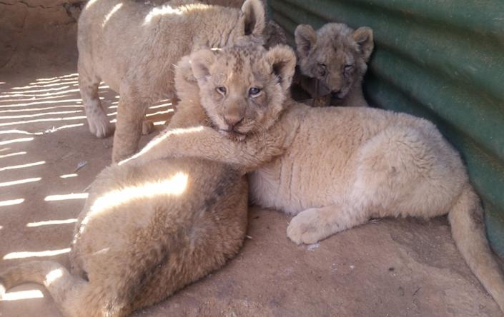 An estimated 8,000-11,000 lions are captive bred on farms across South Africa (HUMANE SOCIETY INTERNATIONAL/AFRICA)