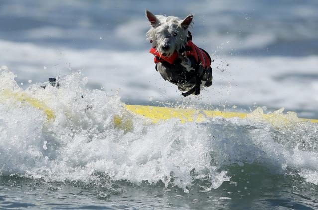 Surf Dog Joey, a West Highland Terrier, bails on his surfboard while competing in the Surf City surf dog competition in Huntington Beach, California, September 29, 2013. REUTERS/Lucy Nicholson (UNITED STATES - Tags: SPORT ANIMALS SOCIETY)