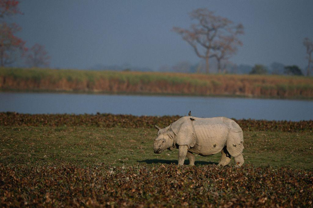 <b>9.Kaziranga, Assam </b><br><br>There is a tinge of romance in the air in Kaziranga as we sit around the fireside and listen to a story which talks about a couple Kazi and Ranga who disappear into the forest to escape their parents' wrath . However it is the sheer diversity of flora and fauna on the swampy marshlands of the Brahmaputra that makes it a World UNESCO site. Home to the one-horned rhinoceros the elephants, tigers, leopards, hoolock gibbons and some amazing varieties of birds, the park is bordered by tea plantations. While the tigers may be a bit difficult to spot due to the tall elephant grass in the region, rhinos and elephants are fairly common. Go on one of the early morning safaris when dawn just breaks. Kaziranga is also a birder's paradise and make sure you try at least one of the birding safaris.
