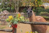 """<p>Fa la la la llama! The ZSL London Zoo's llamas, Ande and Dainty, made the """"naughty list"""" for <a href=""""https://people.com/pets/zoo-llamas-destroy-holiday-decorations/"""" rel=""""nofollow noopener"""" target=""""_blank"""" data-ylk=""""slk:digging into the zoo's (edible!) holiday decorations"""" class=""""link rapid-noclick-resp"""">digging into the zoo's (edible!) holiday decorations</a> before visitors got a chance to see them.</p>"""