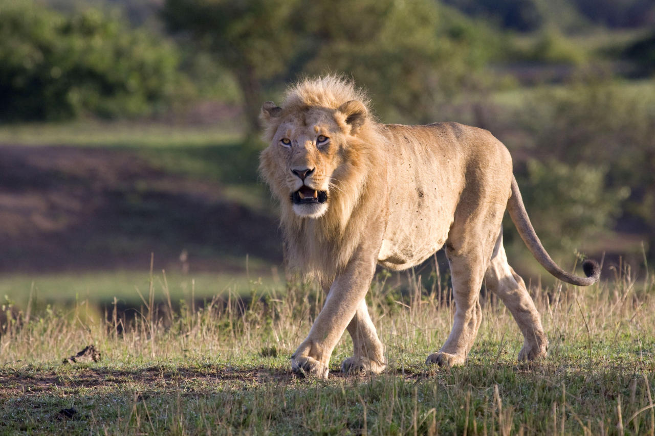 MANDATORY BYLINE - PIC BY ANDREW ATKINSON / FOTOLIBRA / CATERS NEWS - (Pictured the lion) - These are the rip-roaring scenes of a mass battle between a pride of lions which were snapped by a brave photographer from just TWENTY metres away. The spontaneous brawl in the Serengeti National Park, Tanzania was caught by amateur photographer Andrew Atkinson who captured the early morning combat between the young cats just as the sun came up. The safari truck he was on pulled up as the dominant male strode over to kick-start the turf wars between the big cats who can tip the scales at anywhere up to the 180kg mark. SEE CATERS COPY.