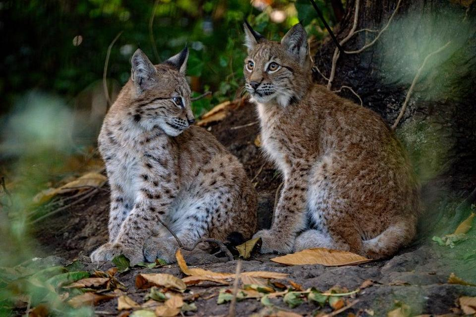A public poll is to be held to name the lynx kittens (Ben Birchall/PA) (PA Wire)