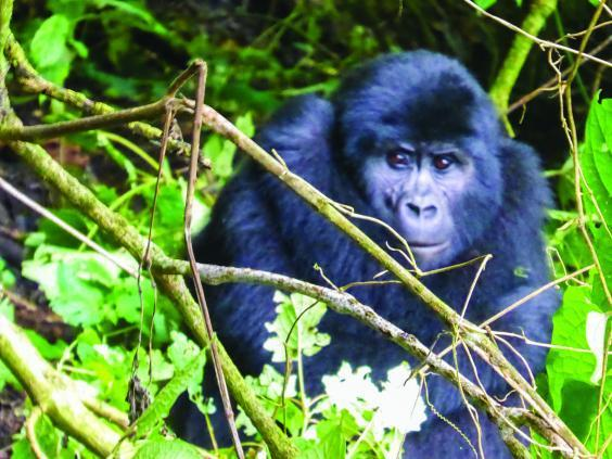 Come face-to-face with gorillas in Bwindi Impenetrable Forest Reserve (Contiki)