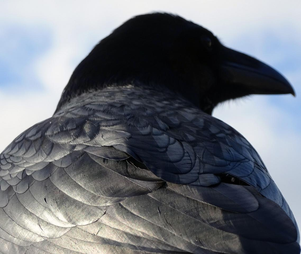 <p>Thomas Easterbrook who took top prize in the under 12 category after snapping his shot, 'majestic raven'. </p>