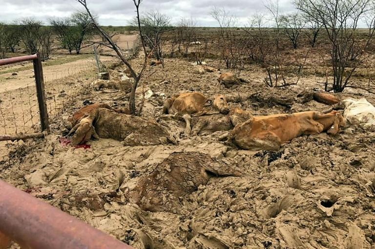 After more than five years of drought, heavy rains turned dusty and parched land in Queensland state into vast swathes of mud that bogged down already weakened cattle