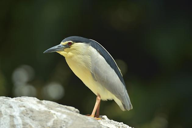 File photo of black crowned night heron (Thinkstock).