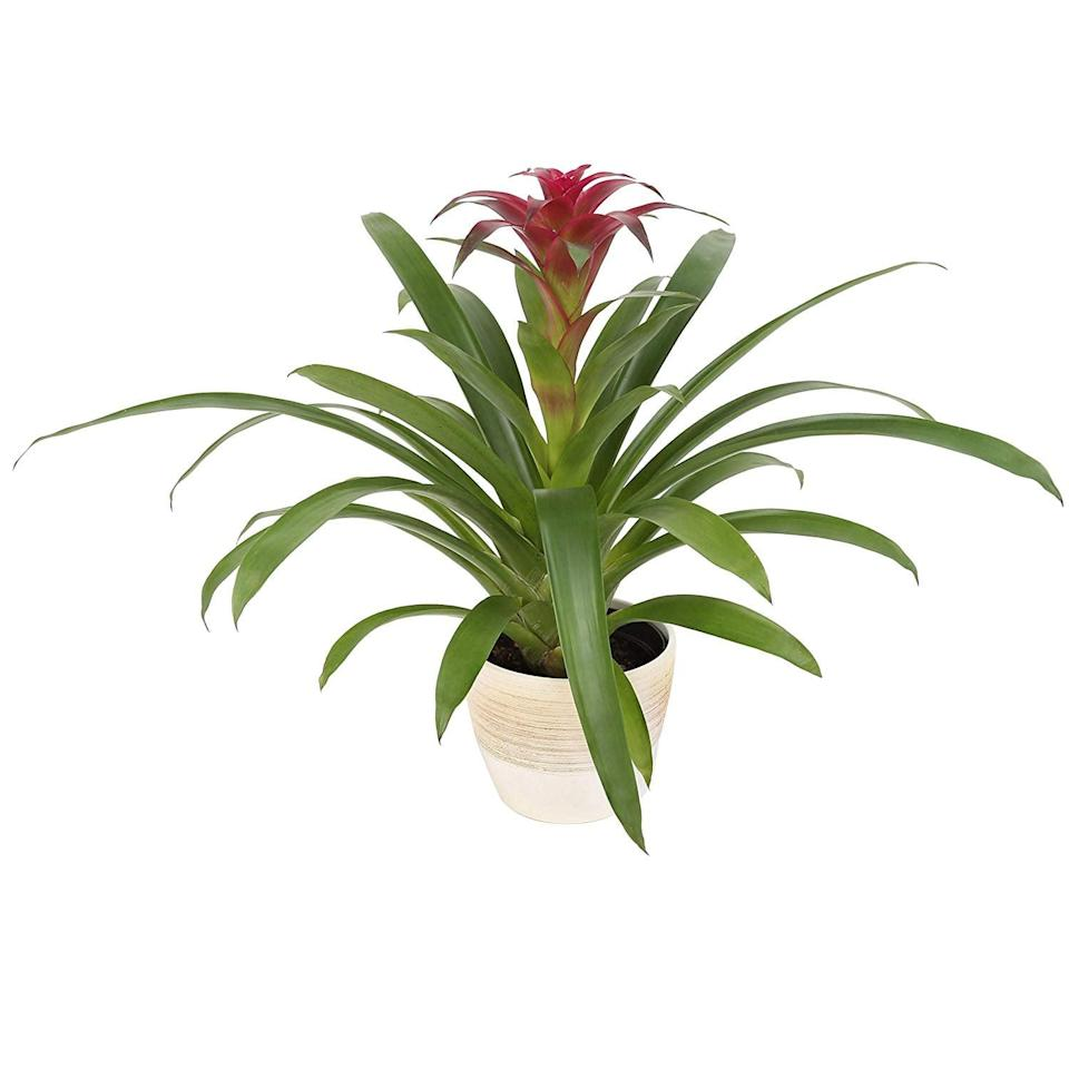 <p>The <span>Blooming Pink Bromeliad</span> ($34) has long-lasting blooms, so you they take in its gorgeous colors.</p>