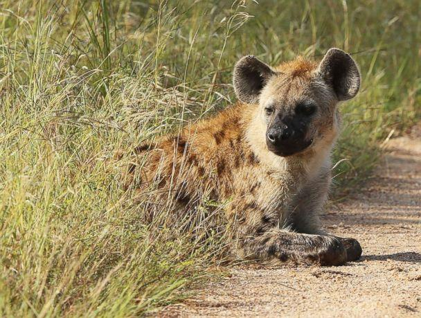 PHOTO: A hyena is pictured in Kruger National Park on Feb. 6, 2013, in Skukuza, South Africa. (Ian Walton/Getty Images, FILE)
