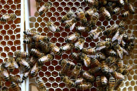 FILE PHOTO: Bees are seen on a beehive frame with honeycomb filled with honey at beekeeper Leonid Baranenko's bee garden in the village of Mikhaylovka, Belarus June 24, 2017.  REUTERS/File Photo