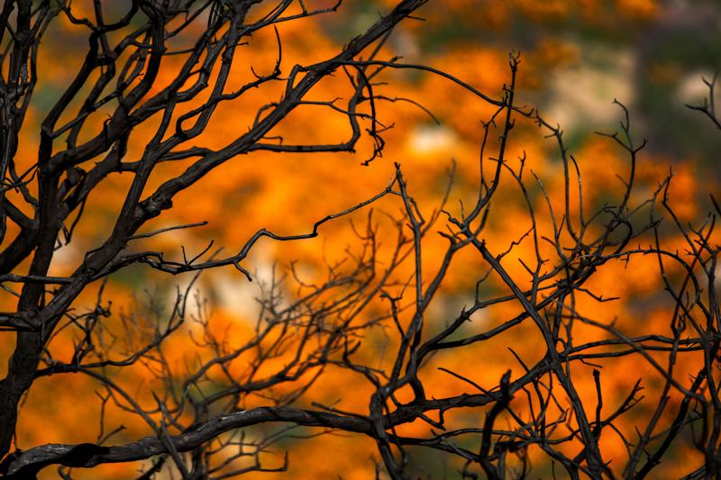 California poppies bloom among the charred remains of chaparral brush that was burned away by the Holy Fire, as the so-called super bloom spreads across the region in Lake Elsinore, California.