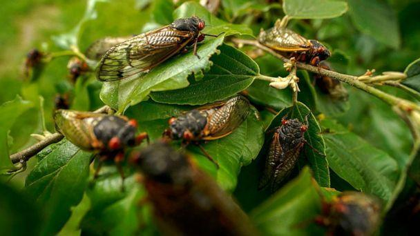 PHOTO: Adult cicadas cover a plant, May 17, 2021, at Woodend Sanctuary and Mansion, in Chevy Chase, Md.  (Carolyn Kaster/AP)
