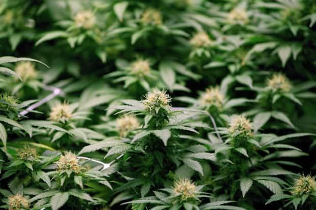 Growing flowers of cannabis are shown in Moncton, N.B., on April 14. Twenty-three cannabis shops have received approval to open in Windsor-Essex. (Ron Ward/Canadian Press - image credit)