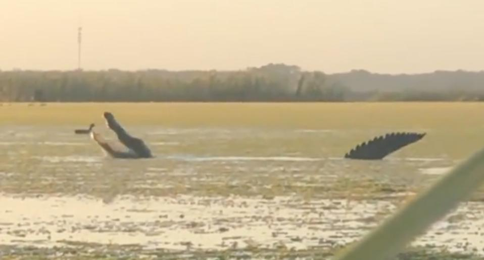 A large alligator eating ducks in a swamp in Florida