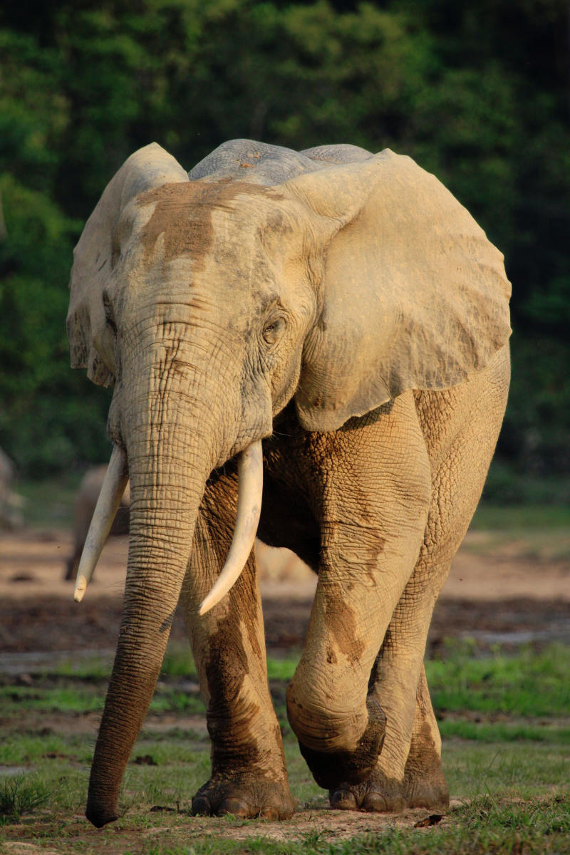 Central African Republic elephant poaching rises