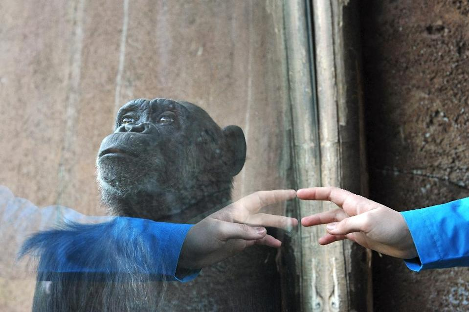 Scientists in the United States and Spain said the human hand may be more primitive than that of our closest living cousin, the chimpanzee (AFP Photo/Tiziana Fabi)