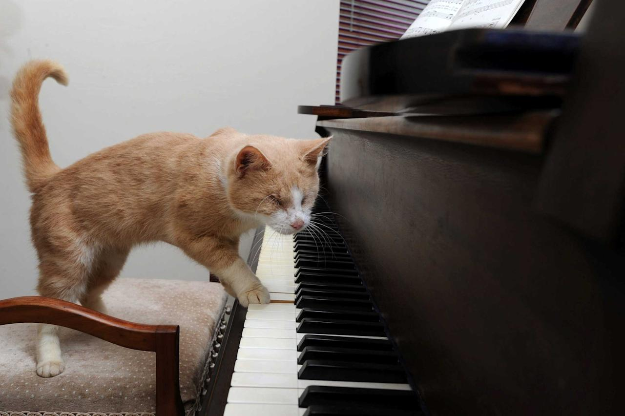 Stevie Wonder the blind cat who loves playing the piano at Wood Green Animal Shelter in Godmanchester, Cambridgeshire. See MASONS story MNSTEVIE: Staff at an animal charity have named an abandoned blind cat Stevie Wonder because the pet loves - playing the PIANO. Animal carers believe the six-year-old moggie - who was found in a garden - craves pushing his paws on the keys because the sound helps connect him to the outside world. When the supersti-puss was found he was flea-ridden, suffering from worms, had a hernia in his stomach and both of his eyes were missing. Vets at Wood Green animal shelter in Godmanchester, Cambs., who are caring for Stevie, are unsure whether his eyes were surgically removed or he was born this way.