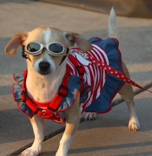 fourth of july dog