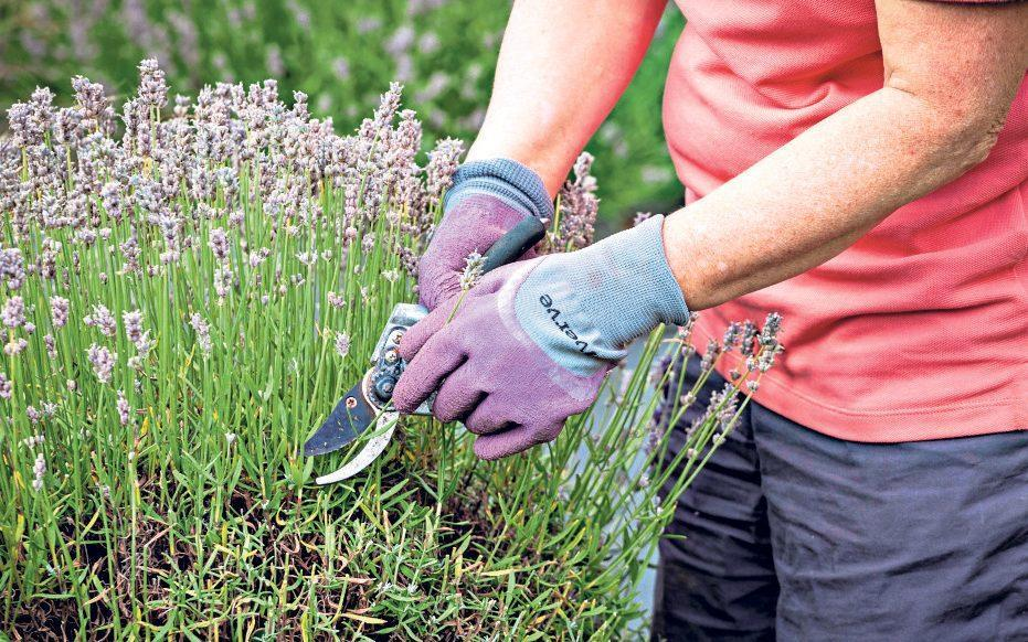 If your lavender is getting a little woody and unsightly then think about a replacement next spring - GAP Photos / Jonathan Buckley