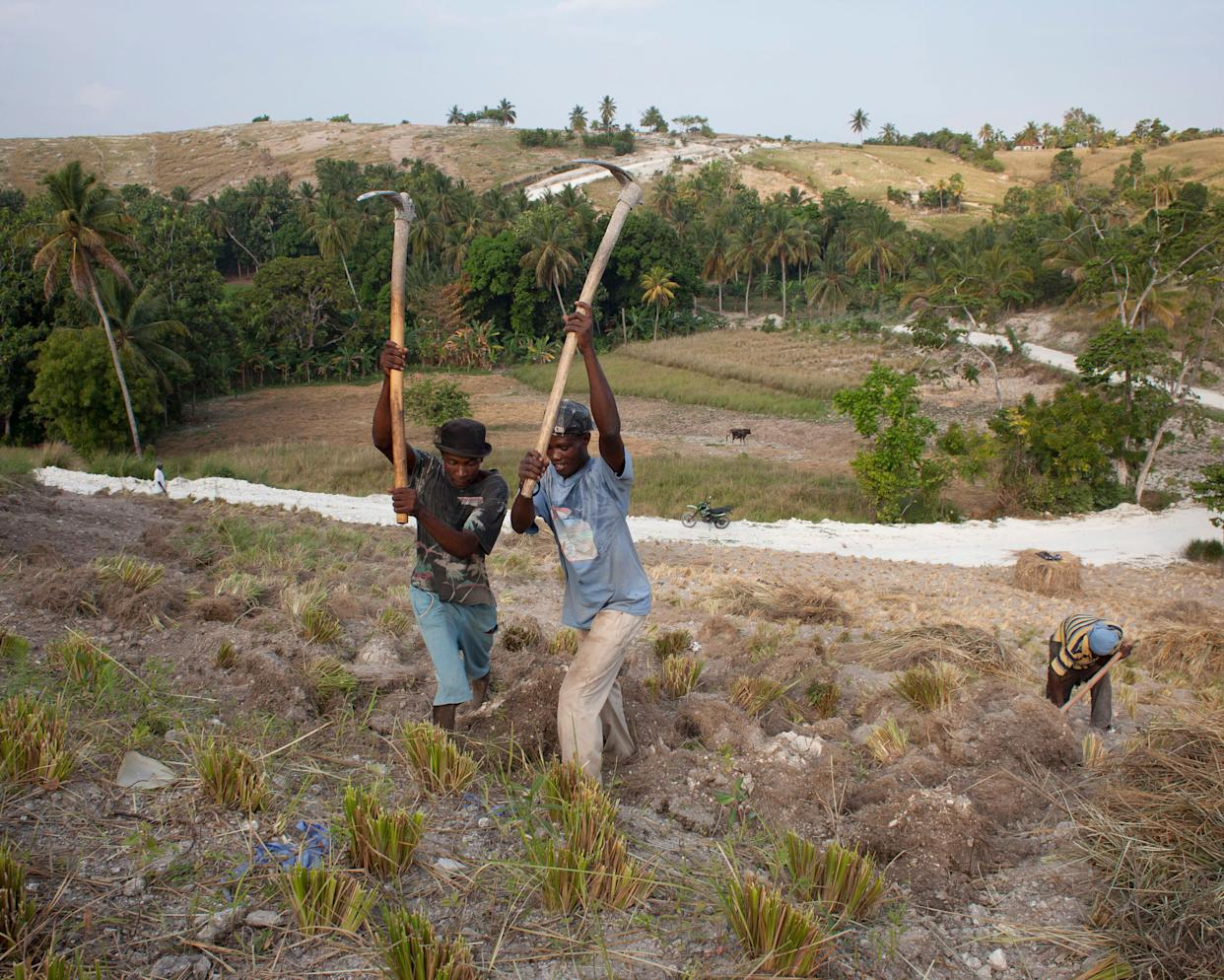 Workers dig up the roots of grass plants on a plantation outside Les Cayeson March 27, 2014.
