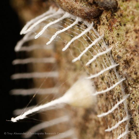 Mystery of Bizarre Amazon Web Formations Unraveled
