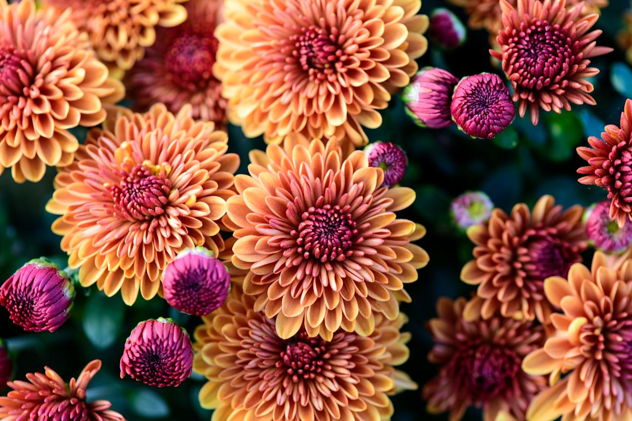 """<p>Dahlia blooms are beautiful and long-lasting, flowering from mid- to late-summer through autumn. A member of the <em>Asteraceae </em>family, it's no surprise this dramatic, cool-weather bloom is akin to the sunflower, zinnia, chrysanthemum, and daisy. </p> <p>Learn more about <a href=""""https://www.southernliving.com/plants/dahlia"""" target=""""_blank"""">dahlia</a>.</p>"""