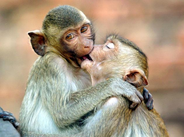 Monkeys kiss at the monkey temple called Phra Prang Sam Yot on February 16, 2004, about 160 kilometers north of Bangkok, in Lopburi, Thailand.  (Photo by Paula Bronstein/Getty Images)