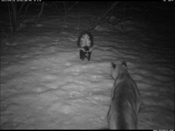 A skunk faces down a cougar in this camera trap photo provided by Waterton Lakes National Park in Alberta, Canada.