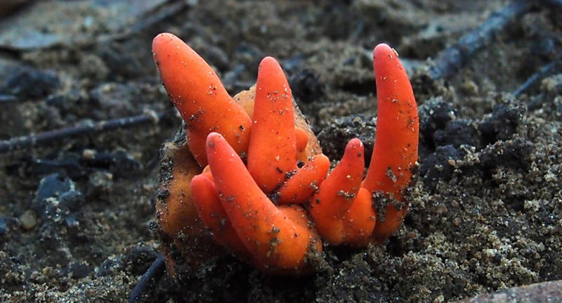 Poison Fire Coral fungus Far North Queensland