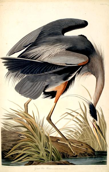 "In this photo provided by the Indiana Historical Society is an image of a Great Blue Heron from ""The Birds of America"" collection by John James Audubon. The Indiana group paid $4,000 for complete sets of ""The Birds of America"" in 1933 and $900 for ""Viviparous Quadrupeds of North America"" in 1951 which it will auction in April. The society says the auction of the Indiana collections will allow the society to acquire more state-specific items and increase its storage. (AP Photo/Courtesy Indiana Historical Society)"