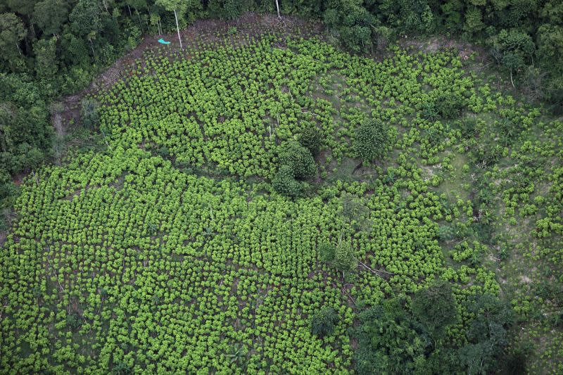 FILE PHOTO: An aerial view of coca plantations in Tumaco