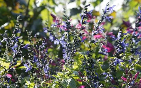 Salvia and aster beds - Credit: Roger Taylor