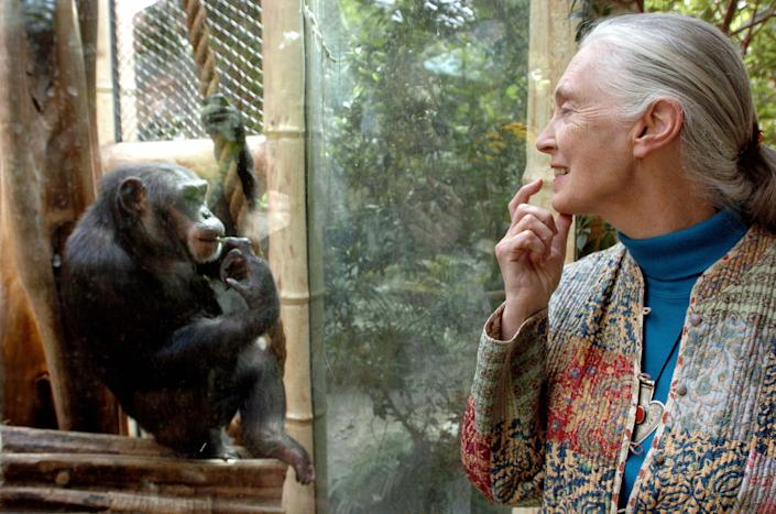 Jane Goodall, the world's foremost authority on chimpanzees, communicates with a chimp named Nana at the zoo in Magdeburg, Germany, on June 6, 2004. / Credit: JENS SCHLUETER/DDP/AFP via Getty Images