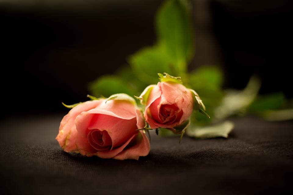 Two head of pink roses
