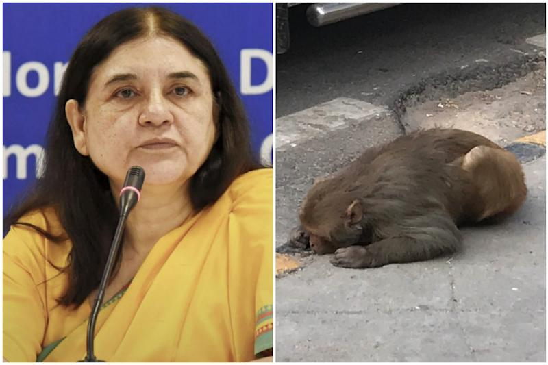 Maneka Gandhi Sends Help Within an Hour After Journalist Tweets Photo of Injured Monkey