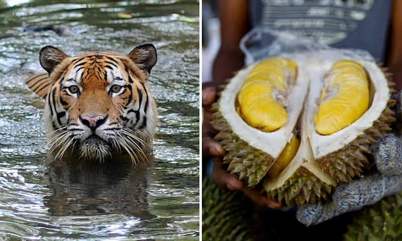 A Malayan Tiger and the controversial durian fruit
