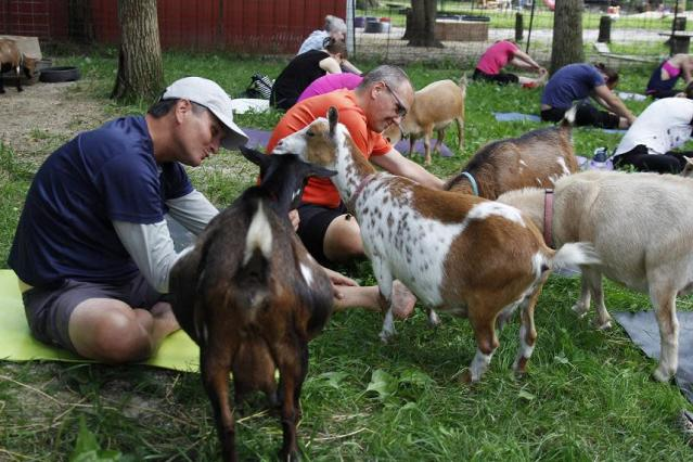 Goat yoga is a real thing and it's coming to Dunkin' Donuts Park in Hartford. (AP)