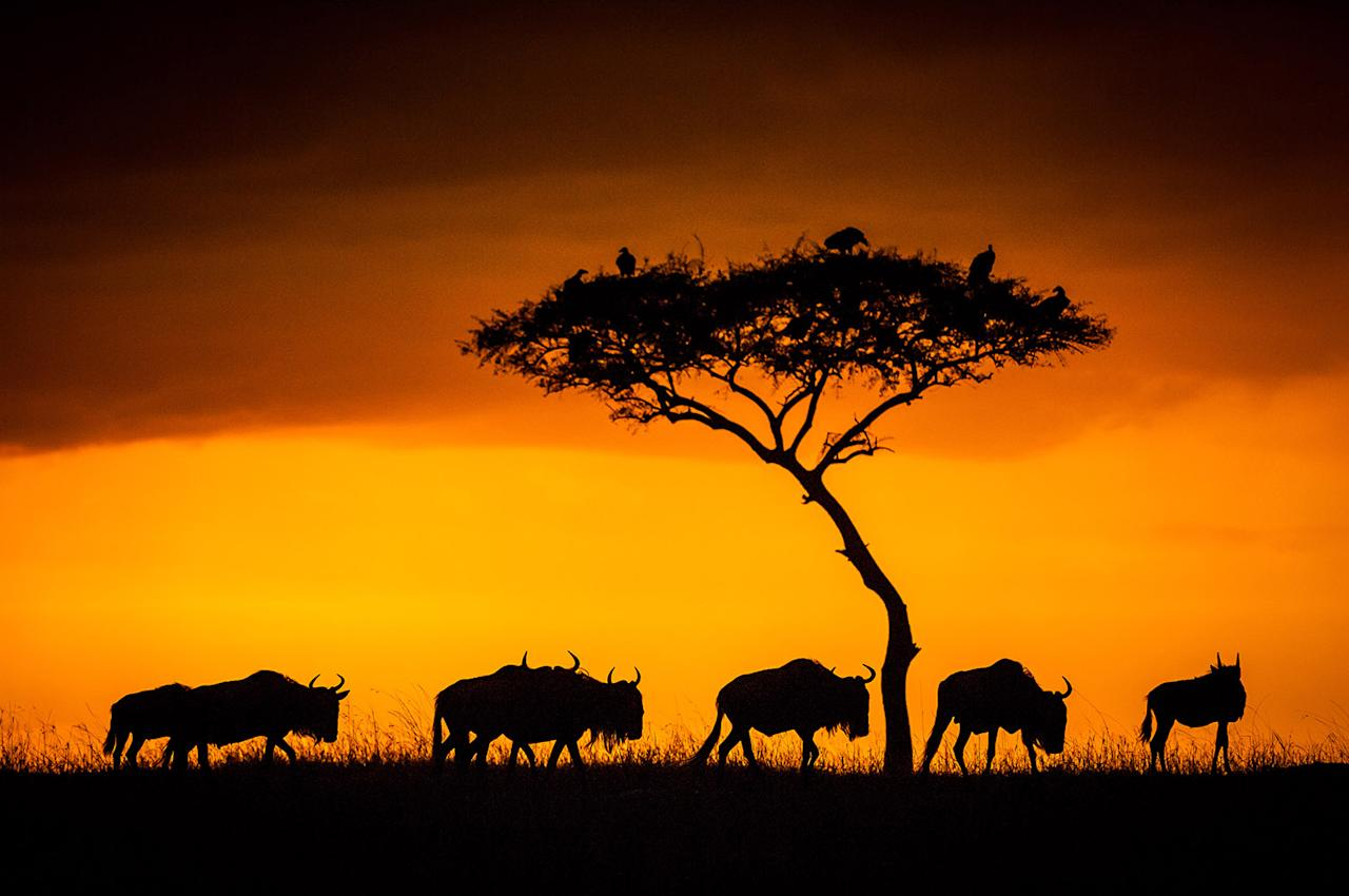 <p>These wildebeest are on the march. (Photo: Ingo Gerlach/Caters News) </p>