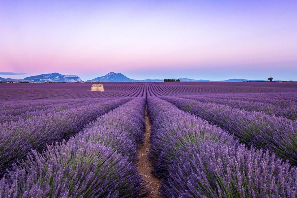 <p>A sprawling lavender field in Valensole commune, Provence, France.</p>