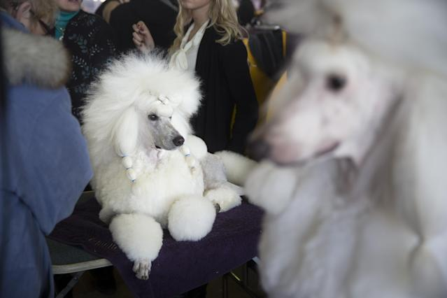 A Standard Poodle rests in the benching area of Pier 92 during the Westminster Kennel Club dog show, Monday, Feb. 10, 2014, in New York. (AP Photo/John Minchillo)