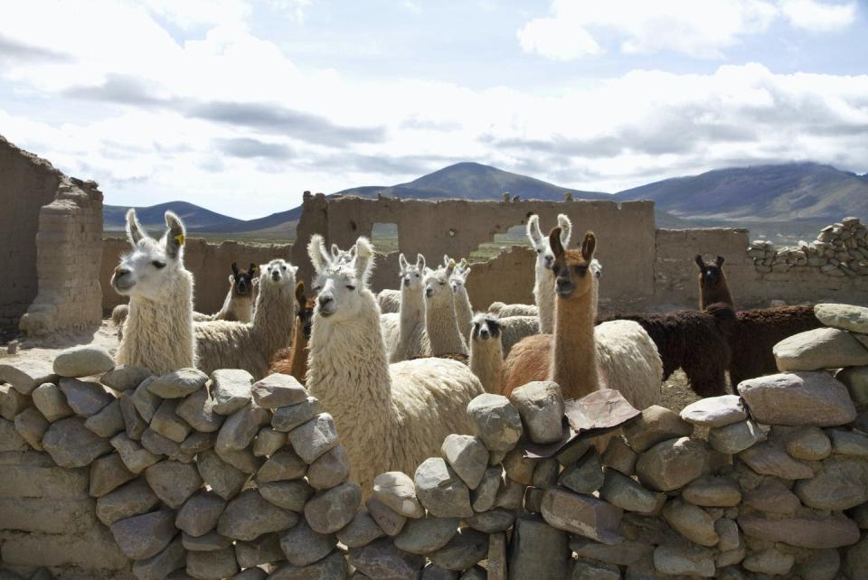 "<span class=""caption"">Llamas en un corral, Pasajes, Tarija, Bolivia.</span> <span class=""attribution""><a class=""link rapid-noclick-resp"" href=""https://www.gettyimages.com/detail/news-photo/llamas-in-a-pen-pasajes-tarija-bolivia-news-photo/558032007?adppopup=true"" rel=""nofollow noopener"" target=""_blank"" data-ylk=""slk:Insights/Universal Images Group via Getty Images"">Insights/Universal Images Group via Getty Images</a></span>"