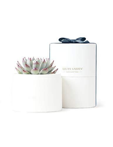 Succulent Plants for Holiday Gifts, Employee Gifts, Corporate Gifts, Thank You Gifts, Client Gifts - Unique and Eco-Friendly Gifts (Classic, Happy Hanukkah) (Amazon / Amazon)