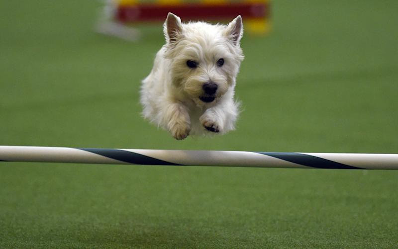 A dog competes in the agility ring during the 2nd Annual Masters Agility Championship in New York at the 139th Annual Westminster Kennel Club Dog Show on February 14, 2015 (AFP Photo/Timothy A. Clary)